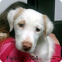 Adopt A Pet :: Felix - Greencastle, NC