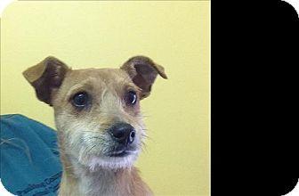 Fox Terrier (Smooth) Mix Puppy for adoption in Dallas, Georgia - 17-03-0752 Noah