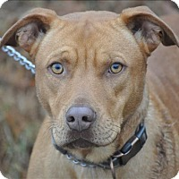 Pit Bull Terrier Mix Dog for adoption in Osage Beach, Missouri - Red
