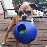 Adopt A Pet :: Bruno - Troy, MI
