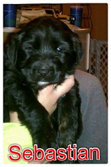 German Shepherd Dog/Chow Chow Mix Puppy for adoption in Garden City, Michigan - Sebastian