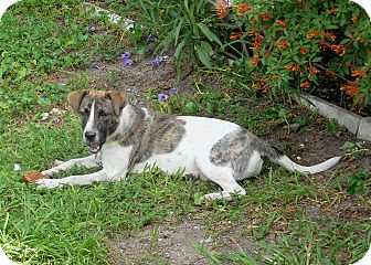 Jack Russell Terrier/Dalmatian Mix Dog for adoption in Ormond Beach, Florida - Vernie