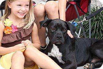 Boxer/Labrador Retriever Mix Puppy for adoption in Alpharetta, Georgia - Gavin