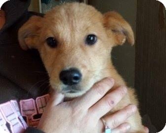 Retriever (Unknown Type)/Shepherd (Unknown Type) Mix Puppy for adoption in Houston, Texas - Jess