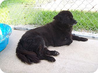 Belgian Shepherd Mix Dog for adoption in Manning, South Carolina - Lucille
