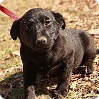 Adopt A Pet :: Macaroon (CD) - Brattleboro, VT