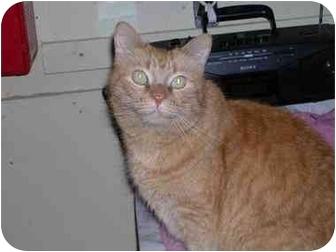 Domestic Mediumhair Cat for adoption in Pascoag, Rhode Island - Simba