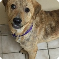 Adopt A Pet :: Olivia - Danbury, CT