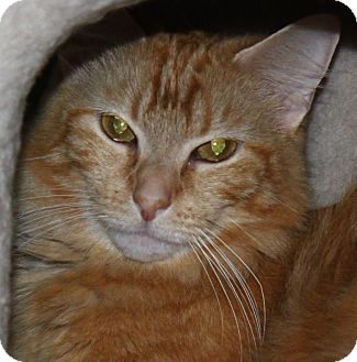 Domestic Longhair Cat for adoption in North Branford, Connecticut - Molly