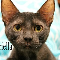 Domestic Shorthair Kitten for adoption in Wichita Falls, Texas - Gabriella