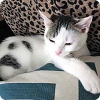 Adopt A Pet :: Dottie - Merrifield, VA