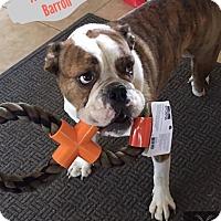 Adopt A Pet :: Barron - Phoenix, AZ