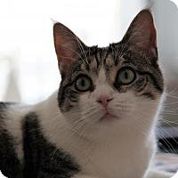 Domestic Shorthair Cat for adoption in Philadelphia, Pennsylvania - Peanut