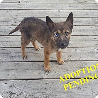 Adopt A Pet :: ALASKA - Winnipeg, MB