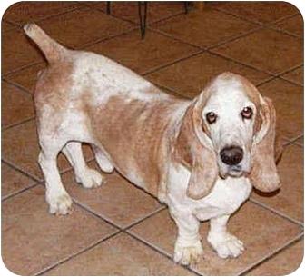 Basset Hound Dog for adoption in Phoenix, Arizona - Diego