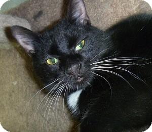 Domestic Shorthair Cat for adoption in Hamburg, New York - Roberto