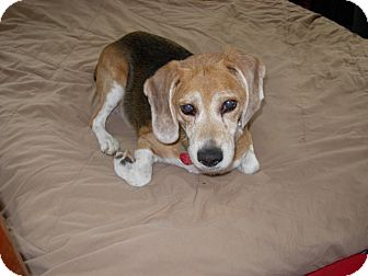 Beagle Dog for adoption in Indianapolis, Indiana - Beau (Blind) Adoption Pending