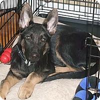 Adopt A Pet :: Kody - Rigaud, QC