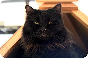 Domestic Longhair Cat for adoption in Lawrenceville, Georgia - Ranger