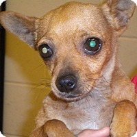 Chihuahua Mix Dog for adoption in Fresno, California - Mercedes