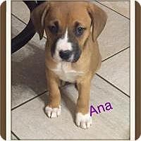 Adopt A Pet :: Ana - Marlton, NJ