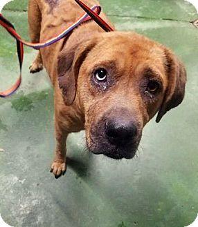 Labrador Retriever Mix Dog for adoption in Savannah, Georgia - Brandy