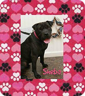 Shar Pei Mix Dog for adoption in Mira Loma, California - Sheba in TN