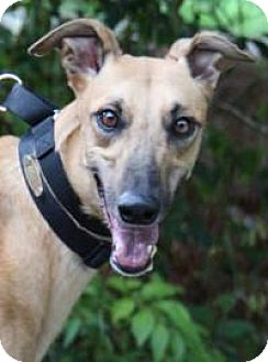 Greyhound Dog for adoption in Nashville, Tennessee - Peggy