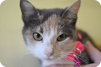 Domestic Shorthair Cat for adoption in LAFAYETTE, Louisiana - TOOTER