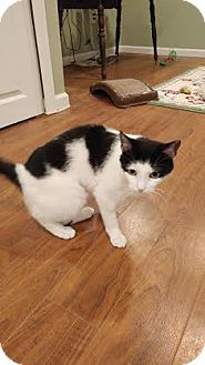 Domestic Shorthair Cat for adoption in Jersey City, New Jersey - Miss Nelly
