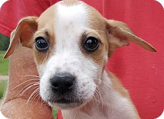 Husky/Terrier (Unknown Type, Medium) Mix Puppy for adoption in Colonial Heights, Virginia - Togo