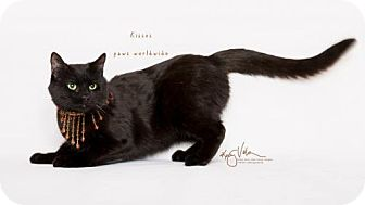 Bombay Cat for adoption in Corona, California - KISSES - SANTA BARBARA