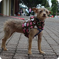 Terrier (Unknown Type, Small) Mix Dog for adoption in Fremont, California - Tessa