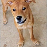 Labrador Retriever/Retriever (Unknown Type) Mix Dog for adoption in Houston, Texas - Laina