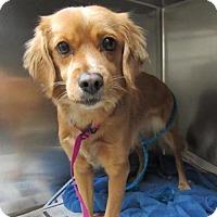 Adopt A Pet :: Chloe - Manhattan, NY