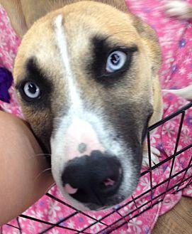 Husky/Shepherd (Unknown Type) Mix Dog for adoption in Cameron, North Carolina - Pearl