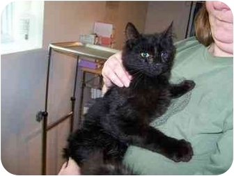 Domestic Shorthair Cat for adoption in Syracuse, New York - Silkie