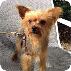 Yorkie, Yorkshire Terrier Mix Dog for adoption in Tallahassee, Florida - Cesar