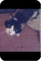 Domestic Shorthair Cat for adoption in Youngstown, Ohio - Gimperella ~ Adoption Pending
