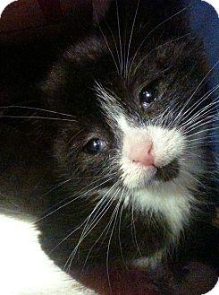 Domestic Shorthair Kitten for adoption in Brooklyn, New York - Viva
