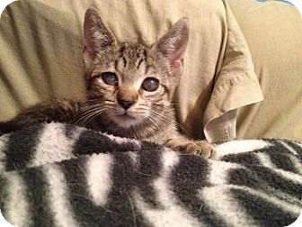 Domestic Shorthair Cat for adoption in New York, New York - Lacey