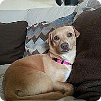 Adopt A Pet :: Gracie - Monrovia, CA