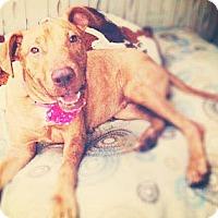 Adopt A Pet :: Makamae - Honolulu, HI