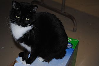 American Shorthair Cat for adoption in Bay City, Michigan - Sweet Pea