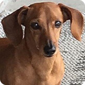 Dachshund Dog for adoption in Houston, Texas - Katy Kanzi