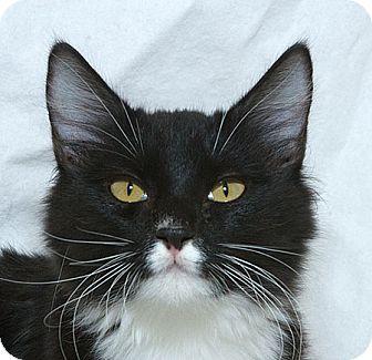 Domestic Longhair Kitten for adoption in Sacramento, California - Skittles M