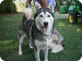 Husky Dog for adoption in Hewitt, New Jersey - Goldielocks -Adoption Pending Congrats Amanda/Dan