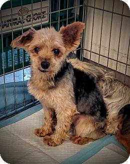 Yorkie, Yorkshire Terrier Dog for adoption in Newark, Delaware - Radley
