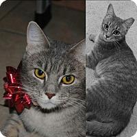 Domestic Shorthair Cat for adoption in York County, Pennsylvania - 16-350 Bella