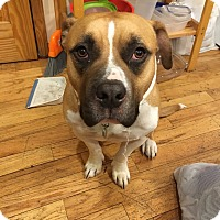Adopt A Pet :: Champ - Brooklyn, NY